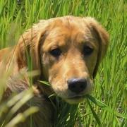 Meradog eating grass